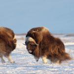Americká Arktida - ohrožené útočiště
